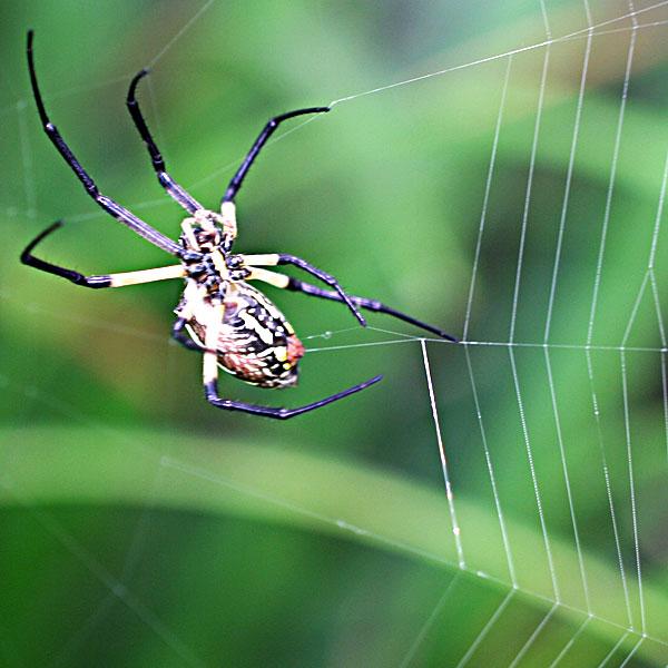 Yellow garden spider spinning silk for its web