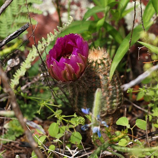 Photo - Cactus flower