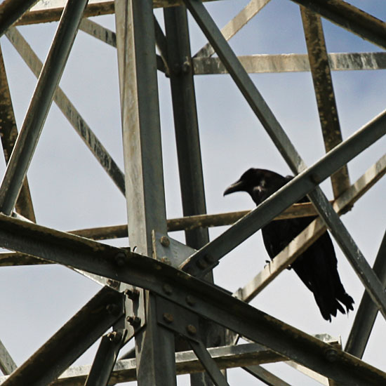 Photo - Crow on electrical tower