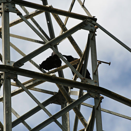 Photo - Two crows on electrical tower