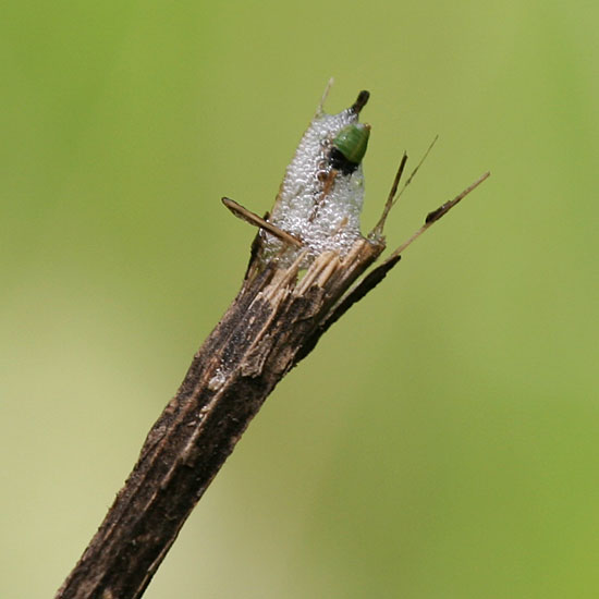 Photo - Spittlebug on the end of a stick