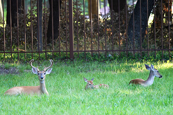 Photo - White-tail deer buck, doe, and fawn lying in the grass