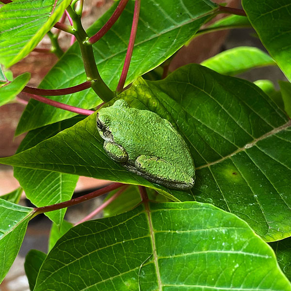 Photo - Gree tree frog resting on a poinsettia leaf
